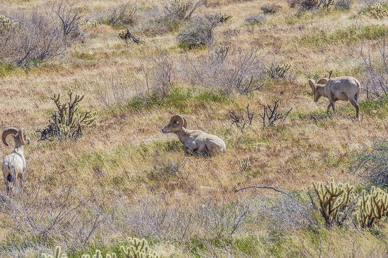 Penninsular Bighorn Sheep 2