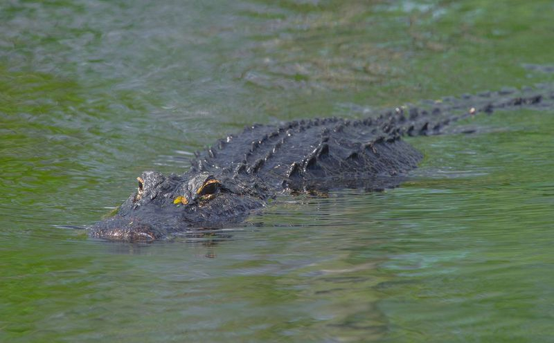 American Alligator Cruising The Shallow's