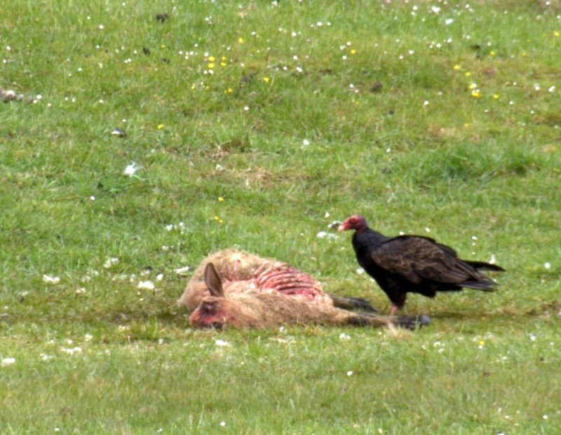 Vulture and sheep