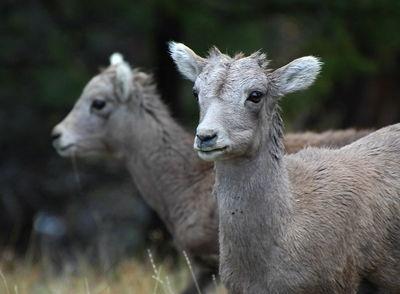 Baby Big Horn Sheep, Tower Falls / Yellowstone