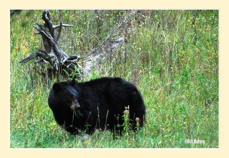 Grazing Black Bear