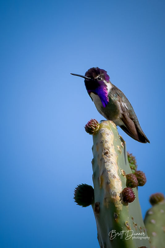 Desert Costa's Hummingbird