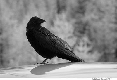IR Raven