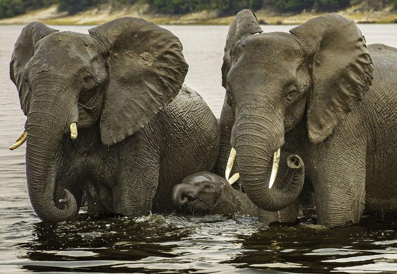 Elephant Family Crossing the Chobe Water