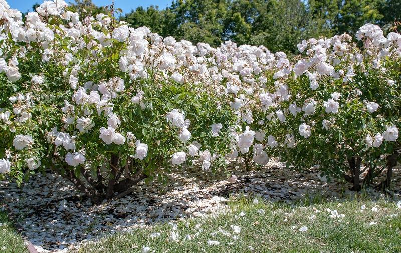 Rose Hedge: San Jose Municipal Rose Garden