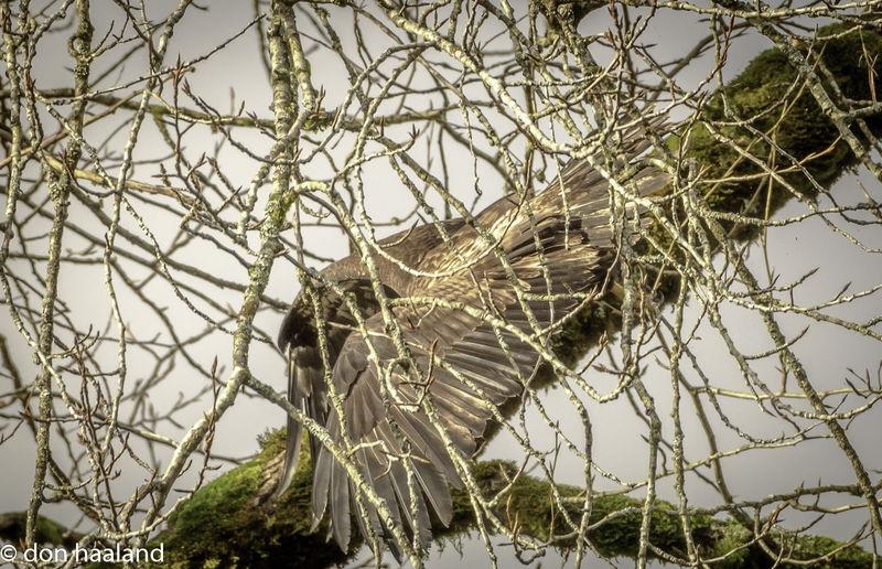 Eagle making it through the cottonwod tree