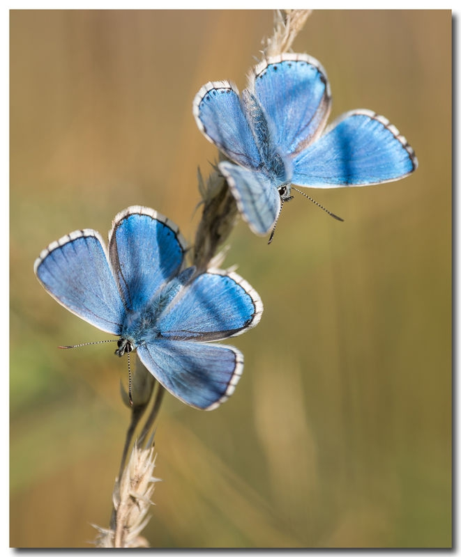 Lycaenidae Butterflies
