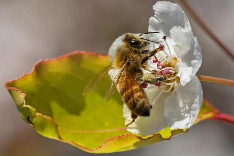 Bee2 on Ume Flower