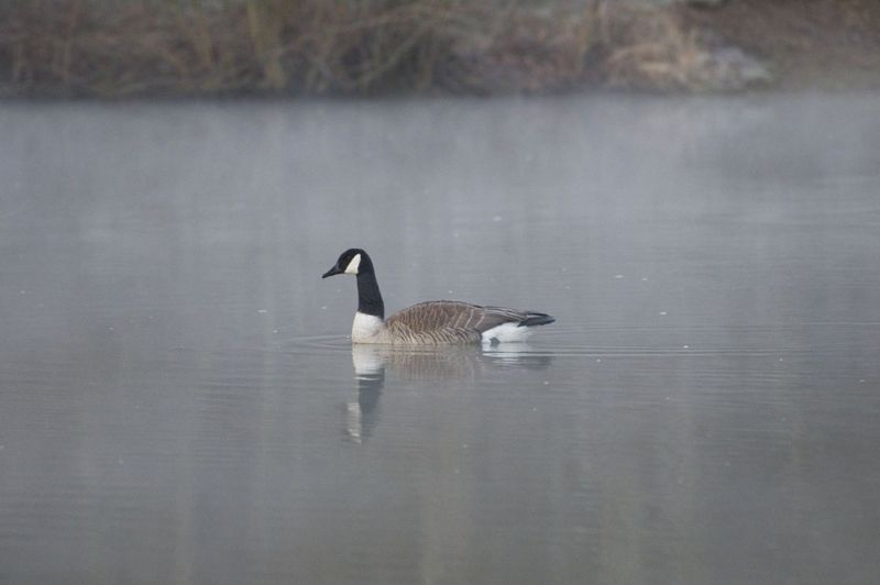 Early Morning Goose