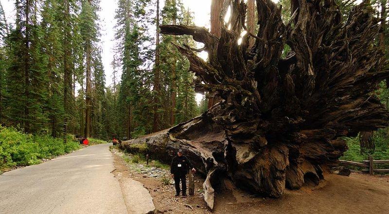 JRP by the Fallen Monarch giant sequoia