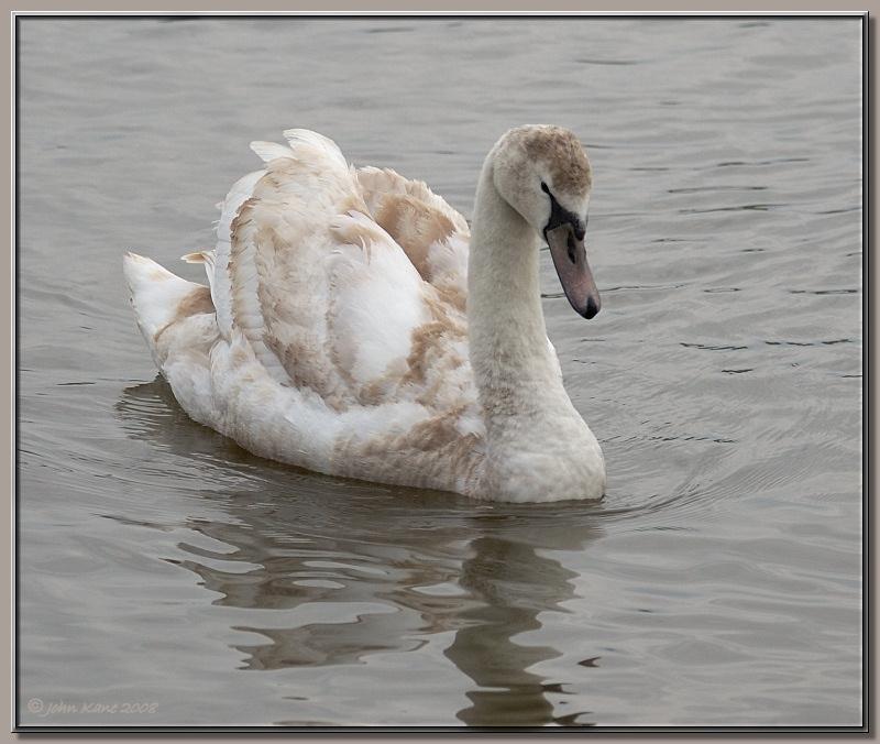Mute Swan Juvenile
