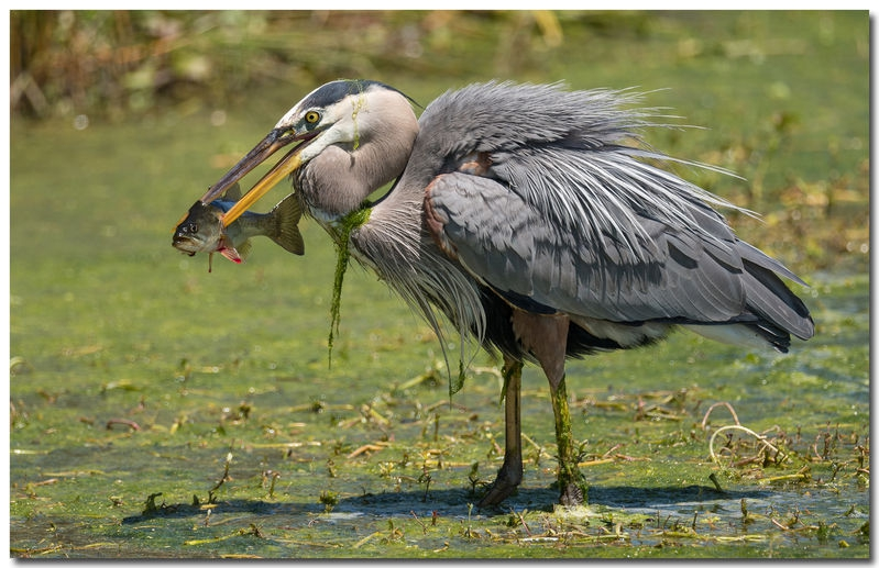 Great Blue Heron with fish.